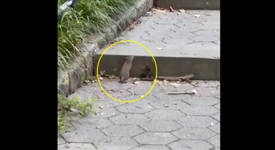 지난3일(현지시간) 미국 뉴욕의 센트럴파크에서 포착된 쥐. [트위터 @alex_runs_nyc캡처]