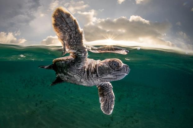 3위는 파푸아뉴기니 리세난섬에서 새끼 거북의 생애 첫 바다수영을 카메라에 담은 호주 작가 매티 스미스에게 돌아갔다.