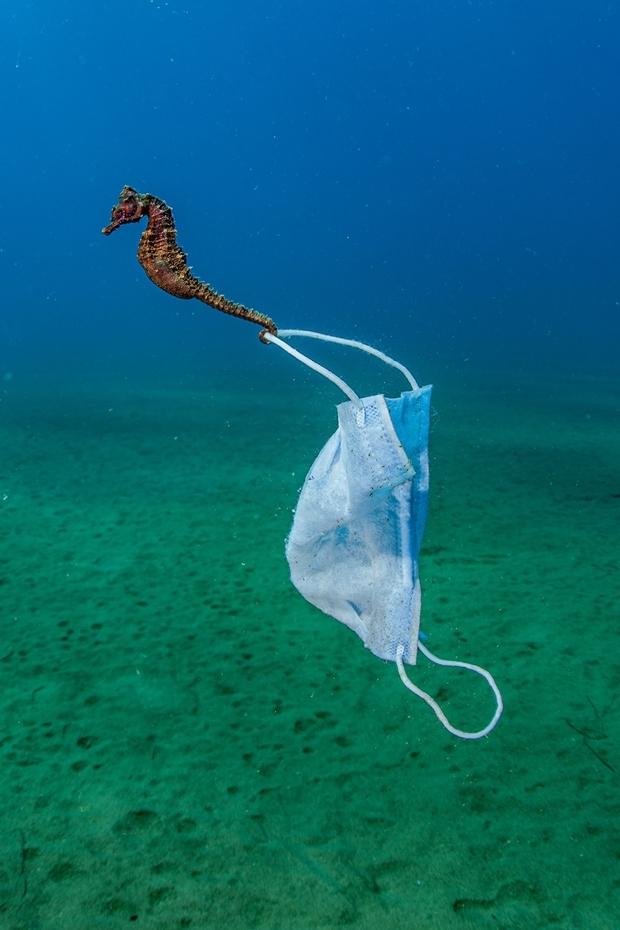 니콜라 사마라스는 특히 '코로나 쓰레기'로 위협받는 해양 생물의 실태를 적나라하게 보여줬다. 그가 그리스 스트라토니에서 포착한 해마 꼬리에는 일회용 마스크 고리가 뒤엉켜 있었다.